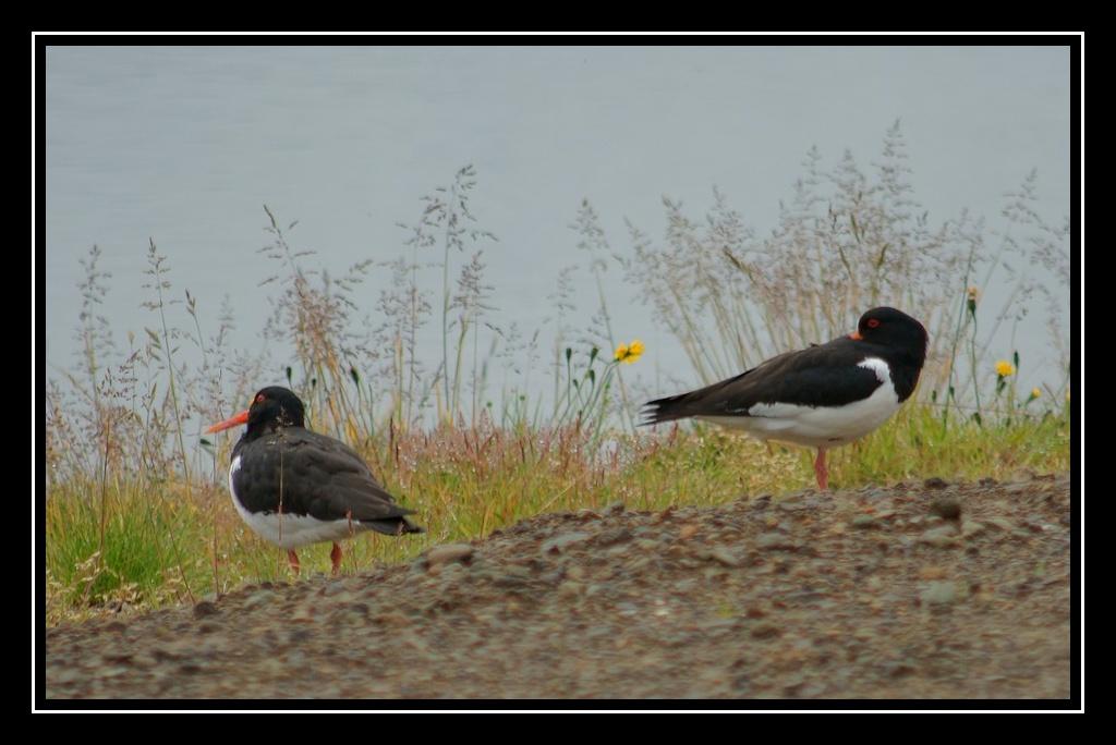 Islande : les oiseaux DSC04923_GF