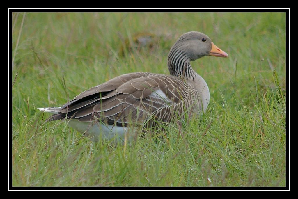 Islande : les oiseaux DSC04991_GF