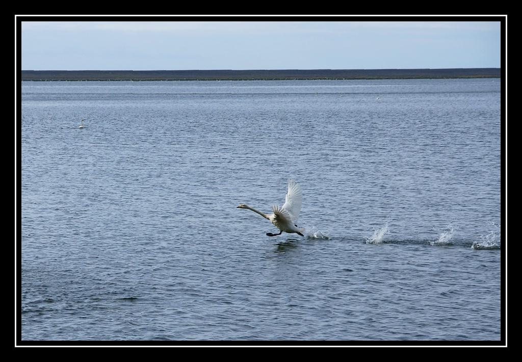 Islande : les oiseaux DSC05253_GF