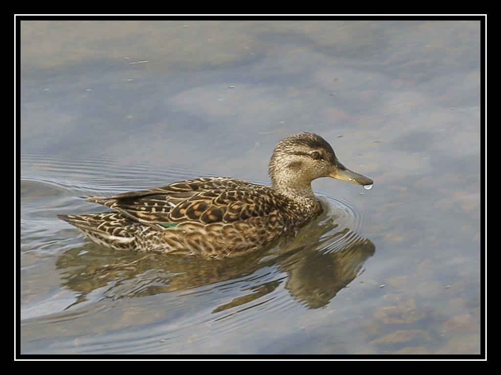 Islande : les oiseaux DSC05447_GF