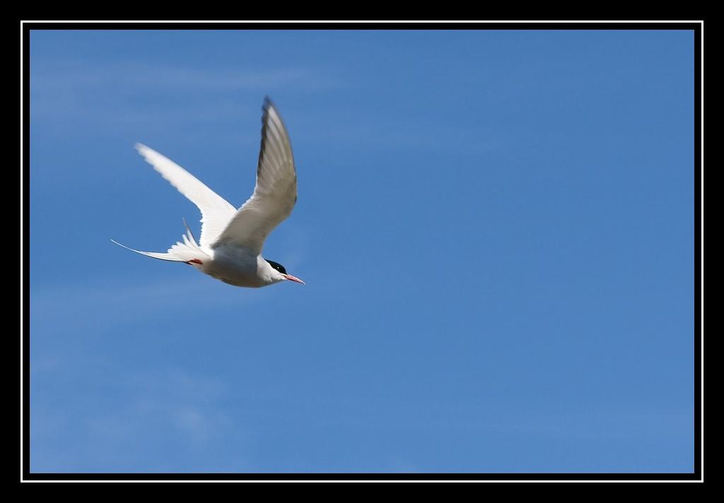 Islande : les oiseaux DSC05629_GF