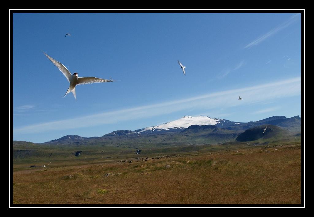 Islande : les oiseaux DSC05634bis_GF