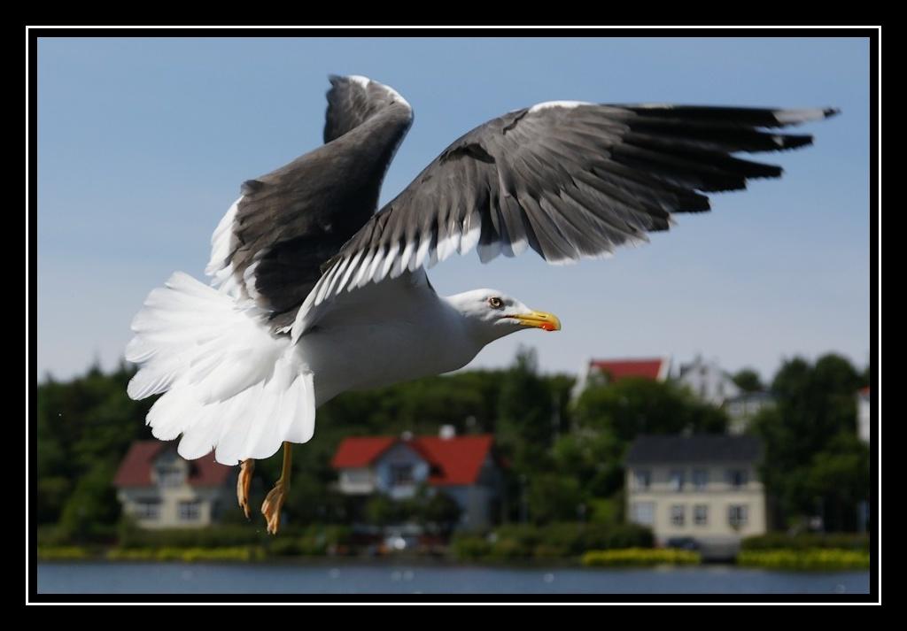 Islande : les oiseaux DSC05752_GF