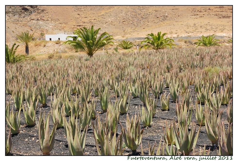 Lanzarote (série 1) : les cactus Cactus02