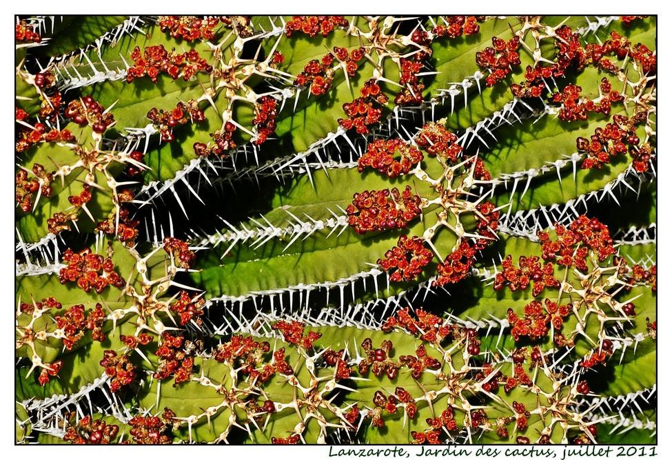 Lanzarote (série 1) : les cactus Cactus08
