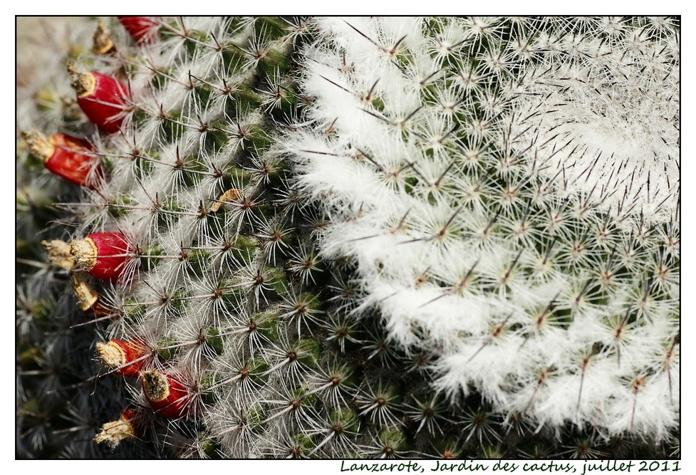 Lanzarote (série 1) : les cactus Cactus09