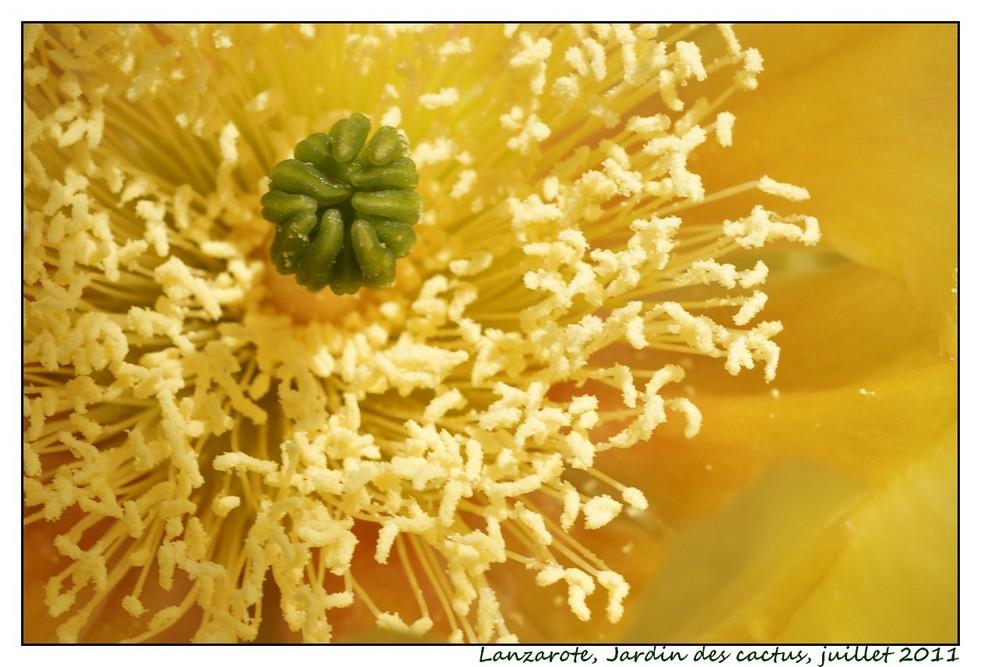 Lanzarote (série 1) : les cactus Cactus12