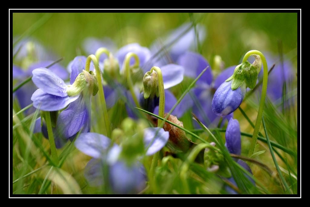 Violettes Fleurs-violettes