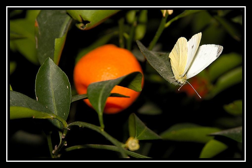 Papillon de Noël Papillon-citronnier1