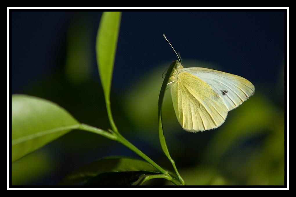 Papillon de Noël Papillon-citronnier2