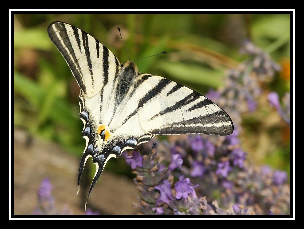 Des papillons sur ma lavande Papillon2