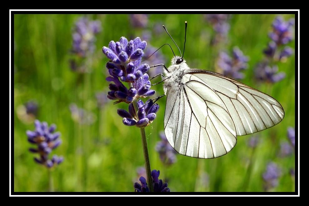Des papillons sur ma lavande Papillon3