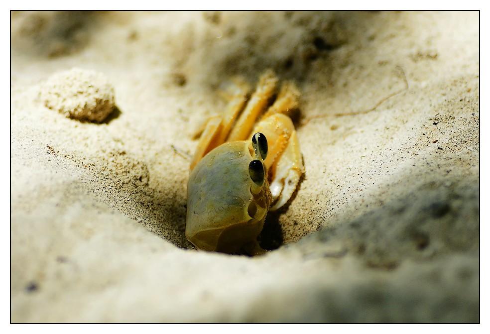Les Antilles : quelques animaux Crabe
