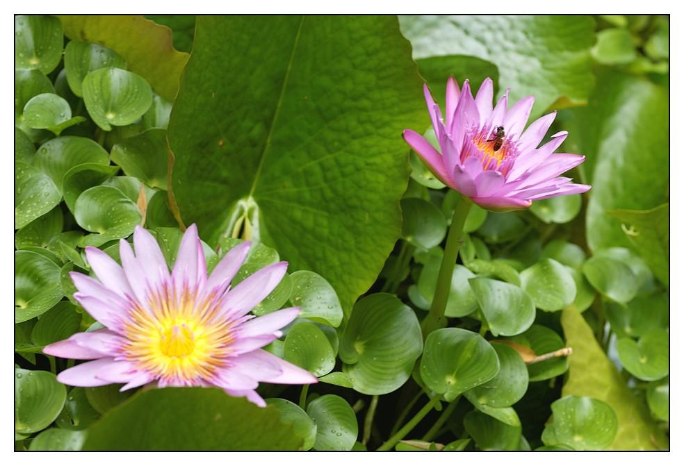 Les Antilles : quelques fleurs Fleurs1