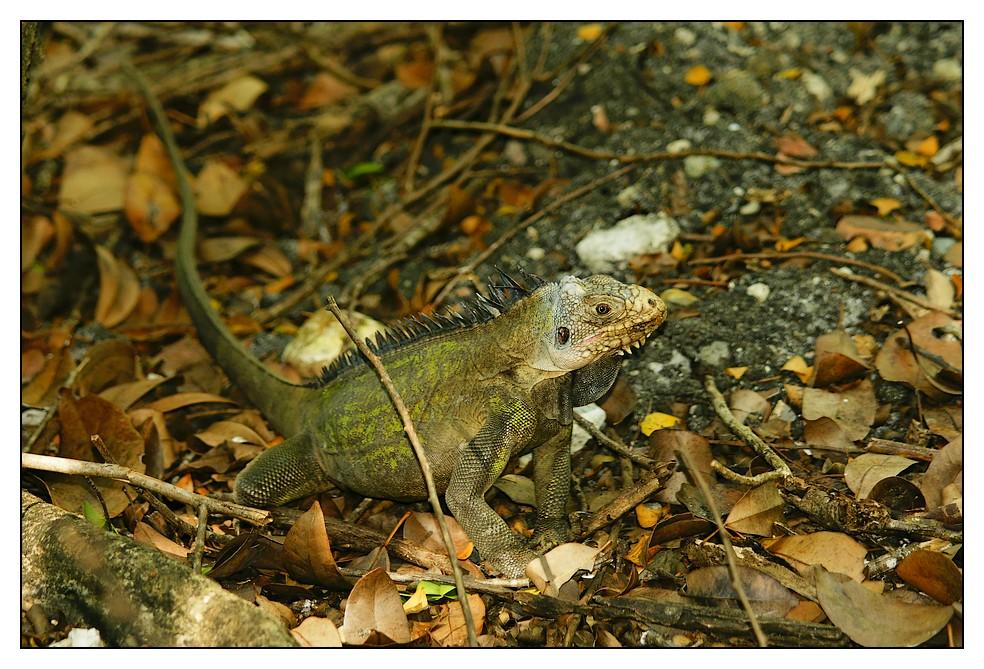 Les Antilles : quelques animaux Iguane1