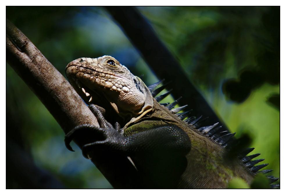 Les Antilles : quelques animaux Iguane2