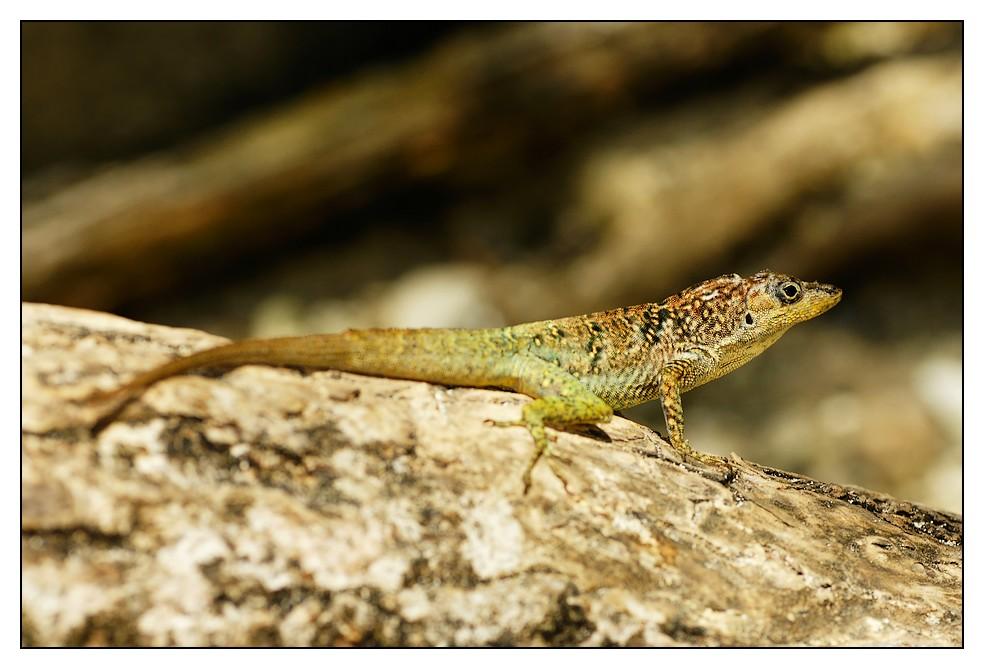 Les Antilles : quelques animaux Lezard