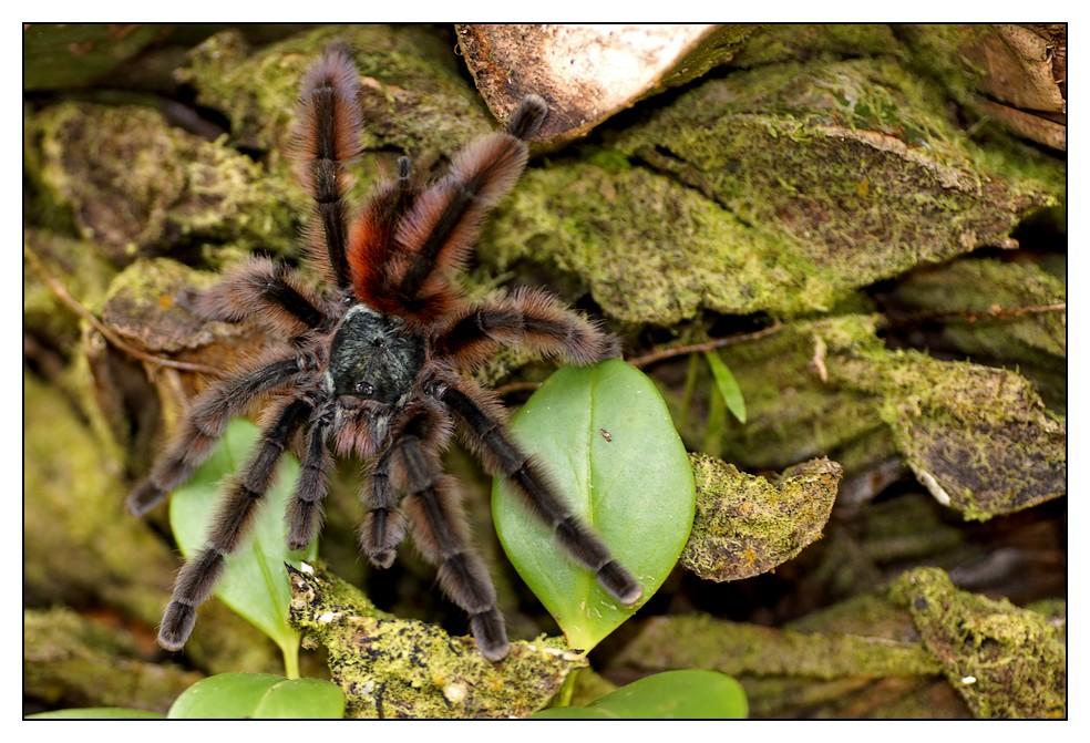 Les Antilles : quelques animaux Matoutou